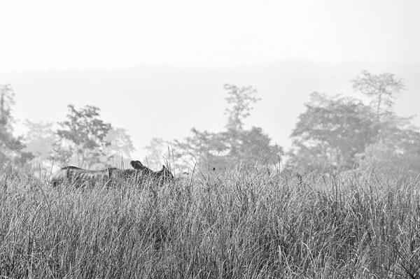 A fleeting glimpse of a Rhinoceros through the long grass. Chitwan National Park Nepal